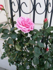 バラの季節5
