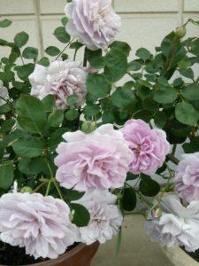 バラの季節8