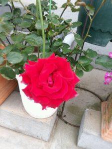 バラの季節6