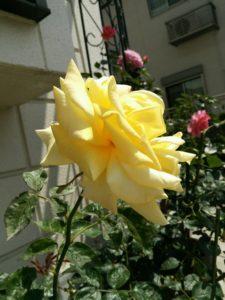バラの季節4